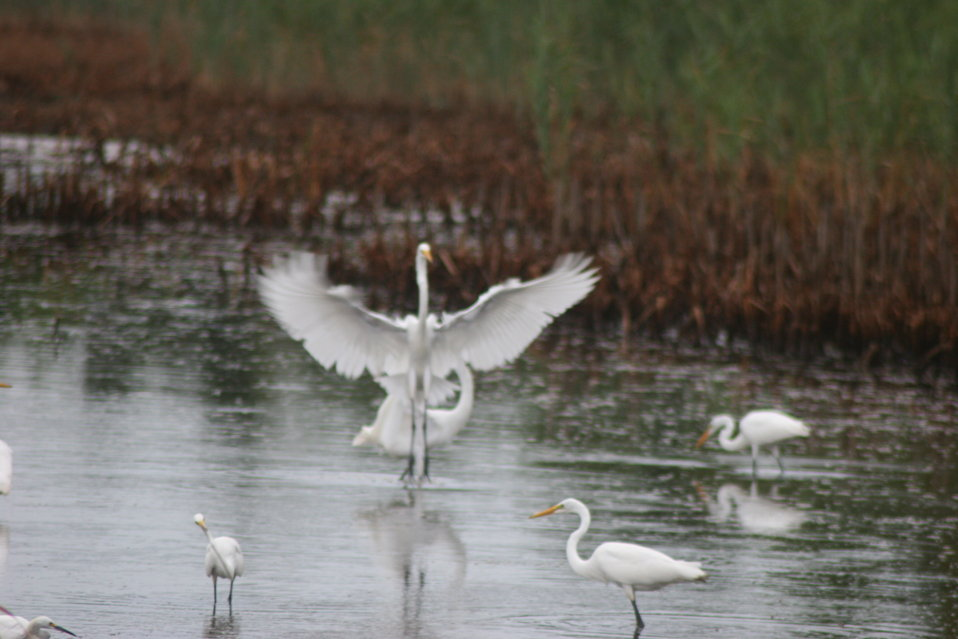 Egret at Prime Hook NWR