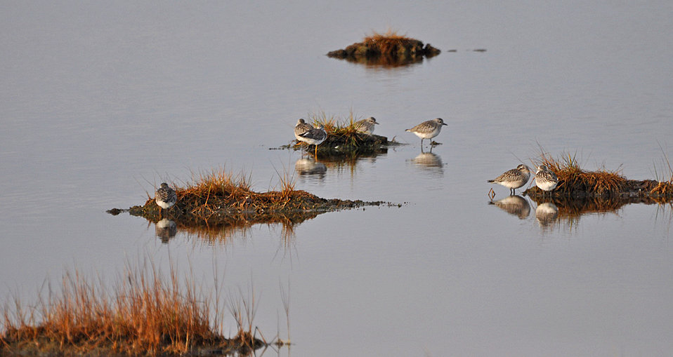 Photo of the Week - Sandpipers at Parker River National Wildlife Refuge