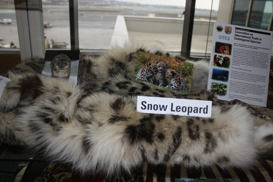 Snow Leopard Skin and Photo