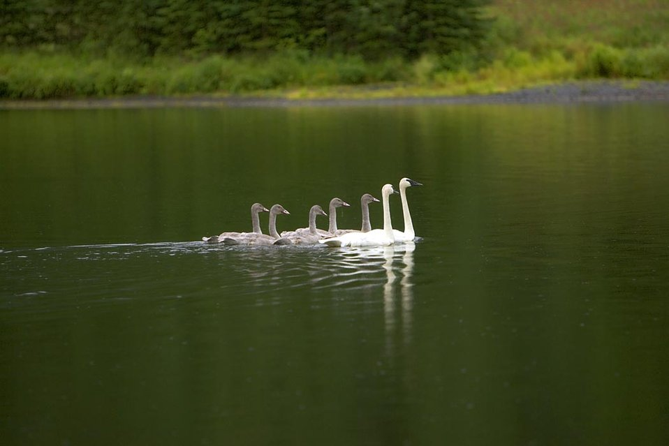 swan pair with cygnets