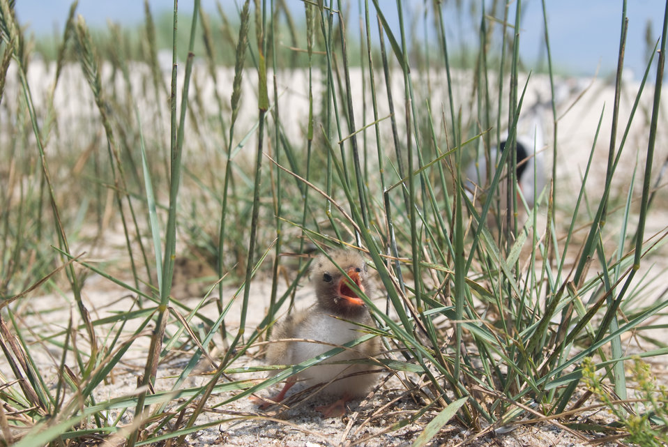 Tern chick and adult at Monomoy National Wildlife Refuge