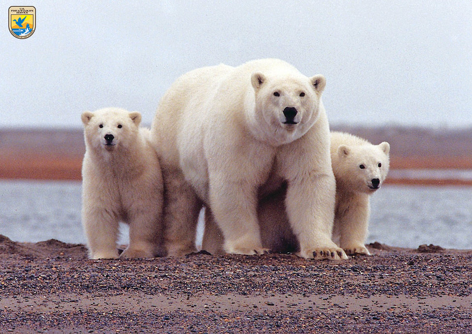 Polar bears, Arctic National Wildlife Refuge