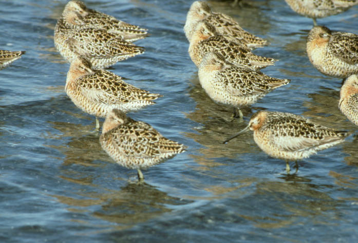 Short-billed dowitcher flock at shoreline