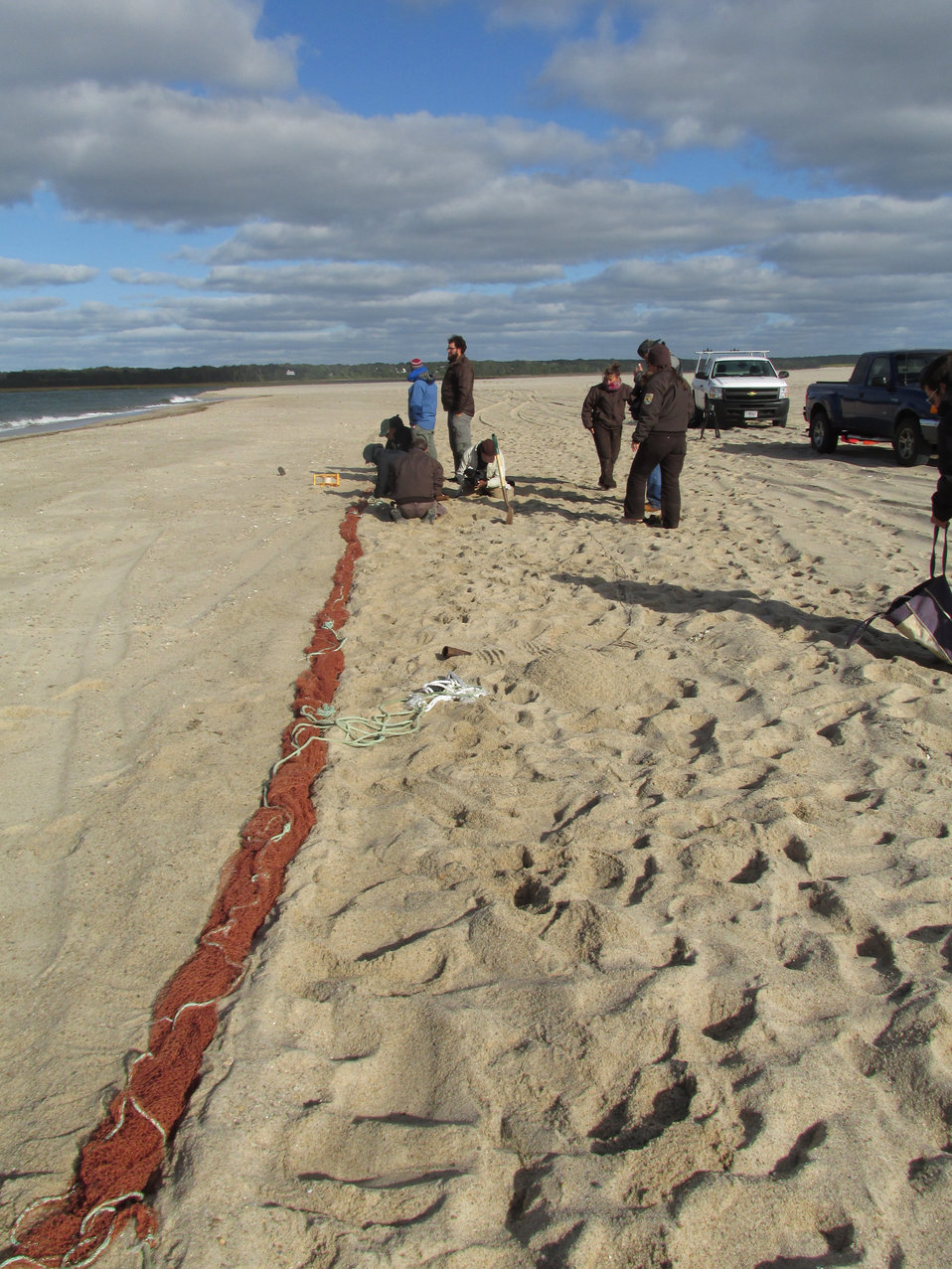 Red knot cannon-netting on Cape Cod