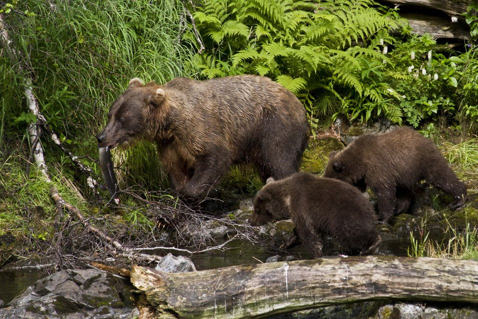Bear sow and cubs