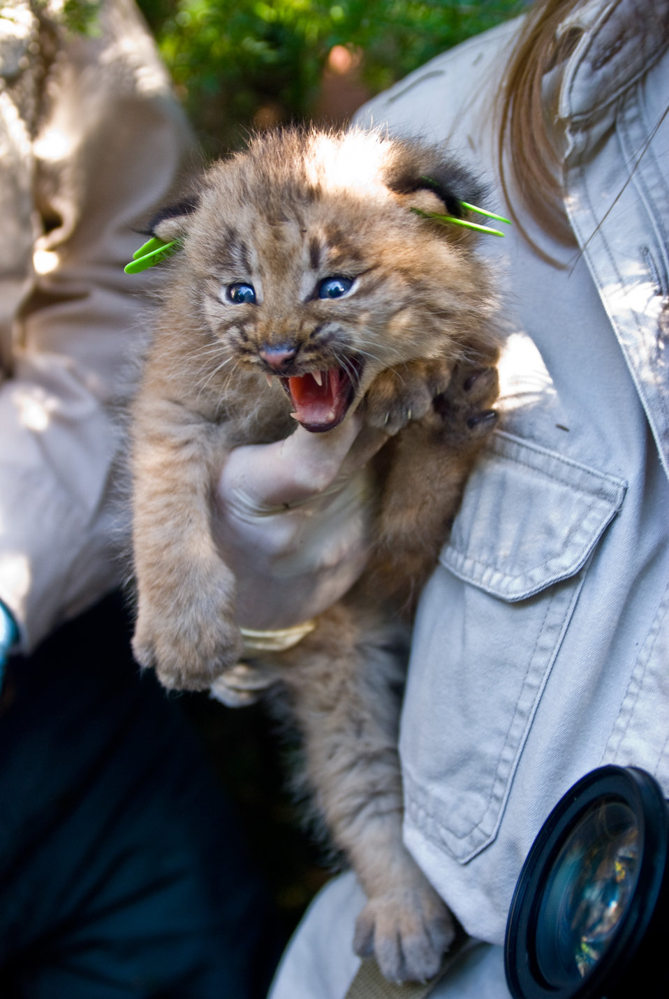 Canada Lynx Kitten, not your average kitten
