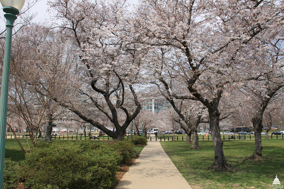 Tunnel of Cherry Blossoms in Senate Park