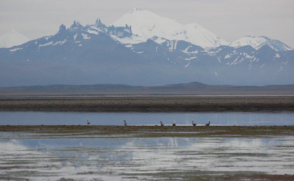 Emperor geese at Kinzarof Lagoon