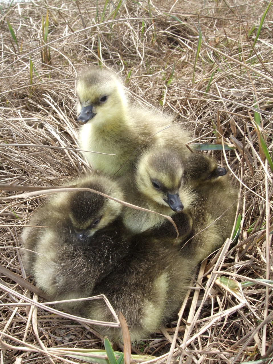 Cackler goslings