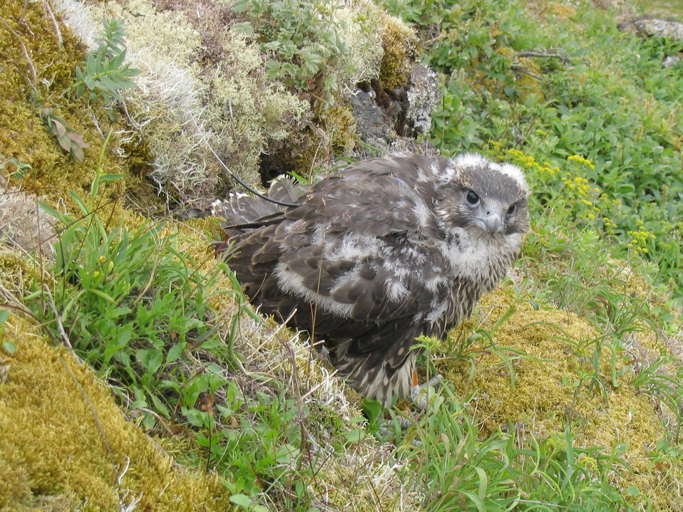 Gyrfalcon fledgling with harness transmitter