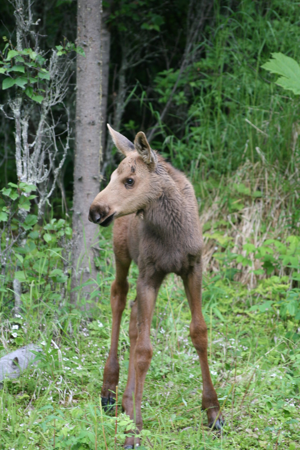 moose calf, Kenai National Wildlife Refuge, AK