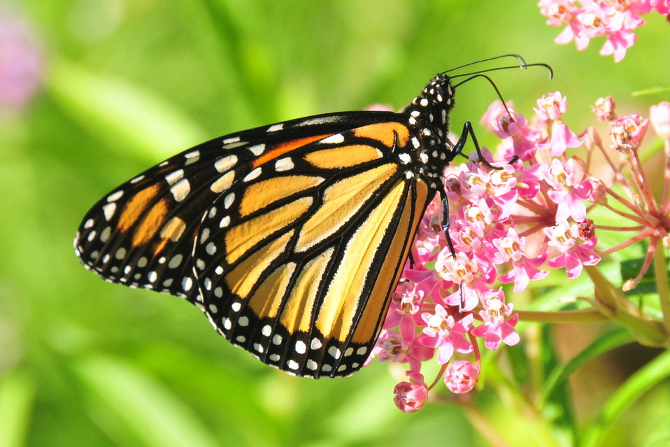Monarch feeding on Swamp Milkweed Sand Lake NWR