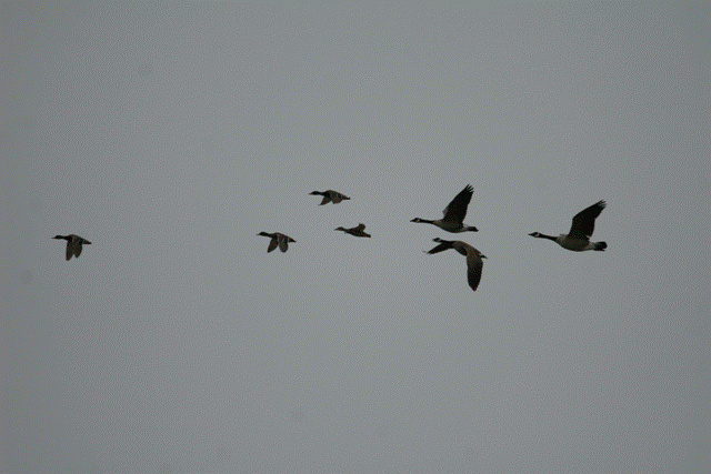Ducks and Geese in Flight