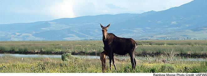 Bear Lake National Wildlife Refuge - Moose