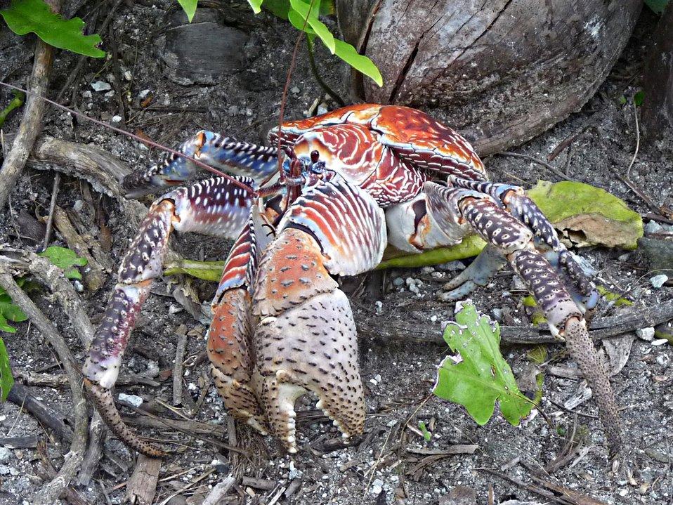 Coconut Crab - Palmyra Atoll NWR