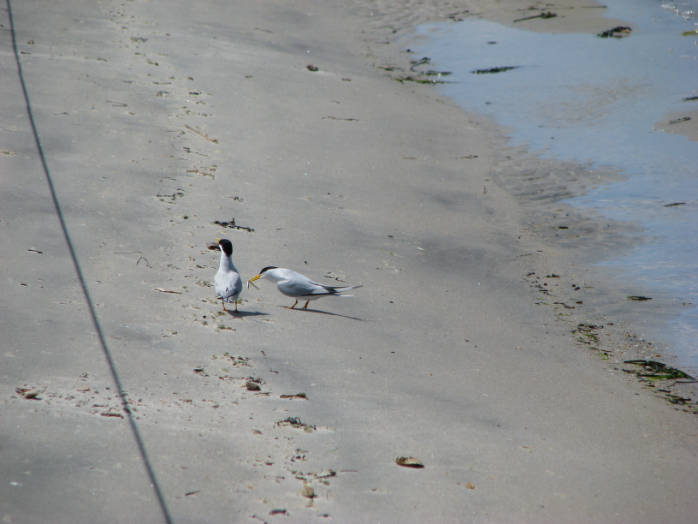 Common Terns on Beach