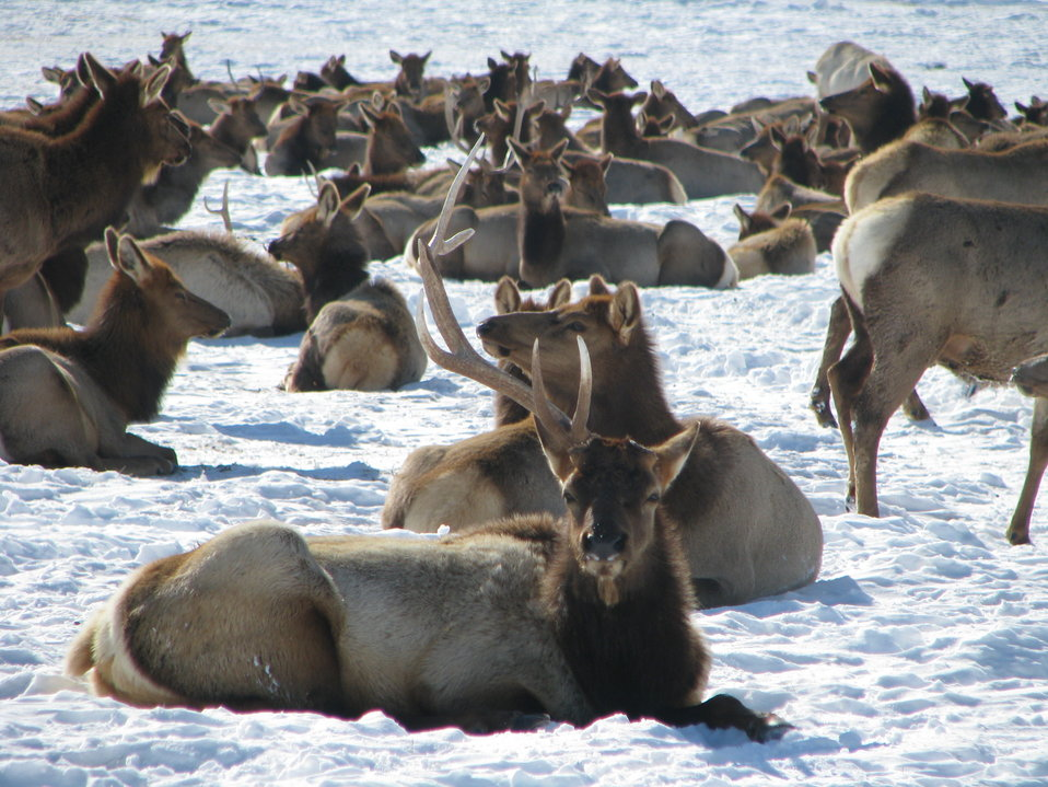 Bull Elk and Herd