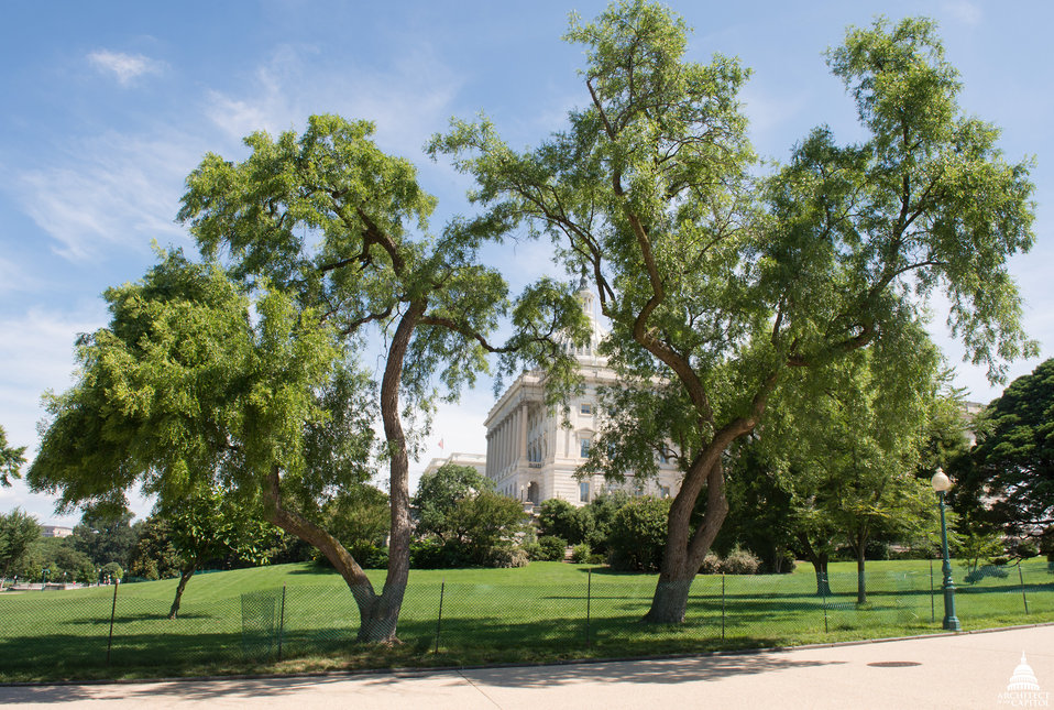 Jujube (Chinese Date) Trees on the Capitol Grounds