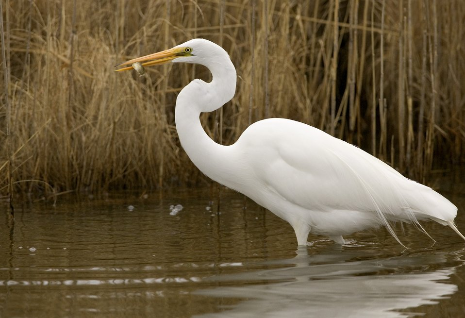 Photo of the Week - Great Egret at Chincoteague National Wildlife Refuge