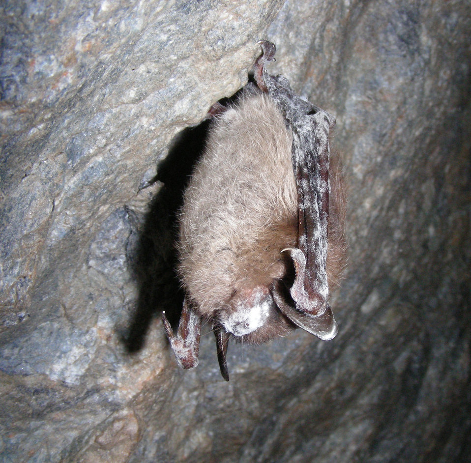 Bat showing symptoms of White-nose Syndrome