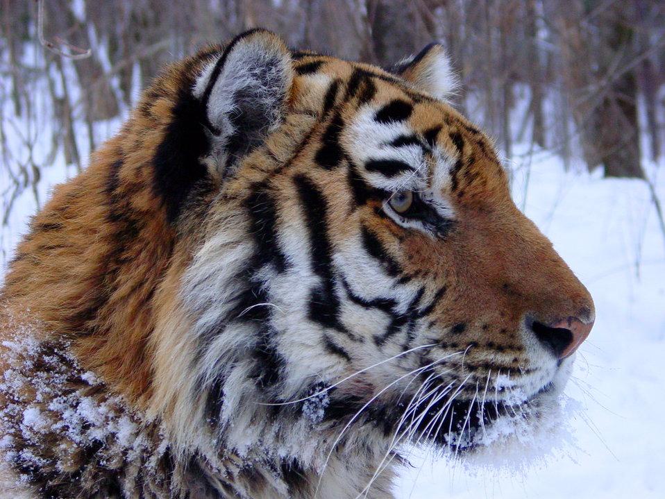 Tiger Amur