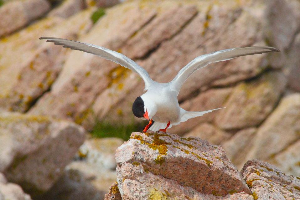 Common Tern Wings Spread