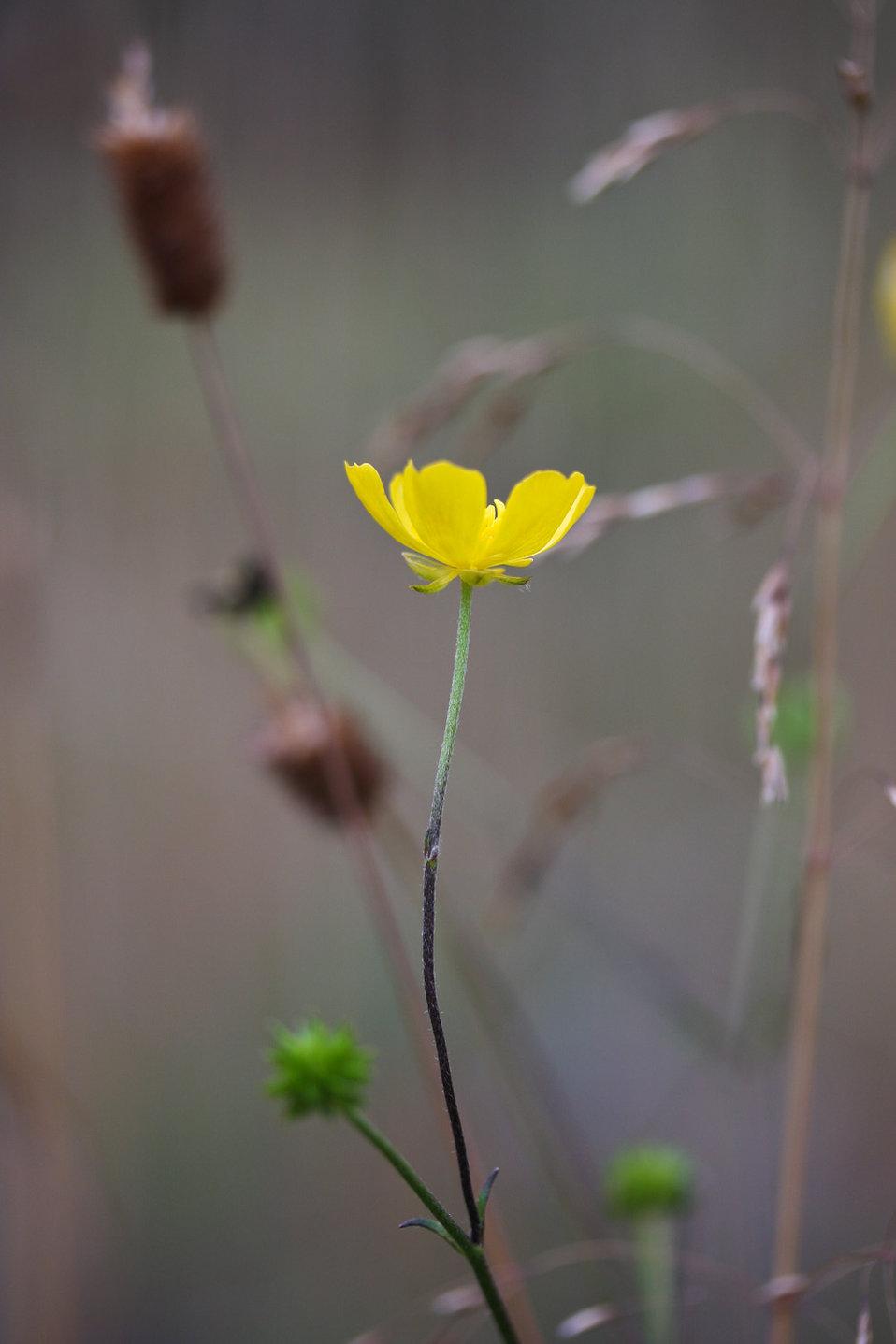 Fall buttercup