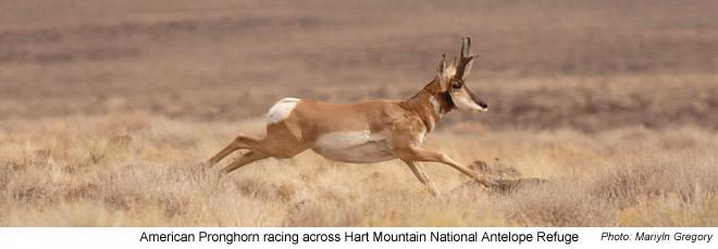 American Pronghorn - Hart MT National Antelope Refuge