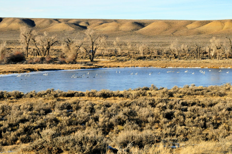 Trumpeter Swans wintering on the Green River on Seedskadee NWR