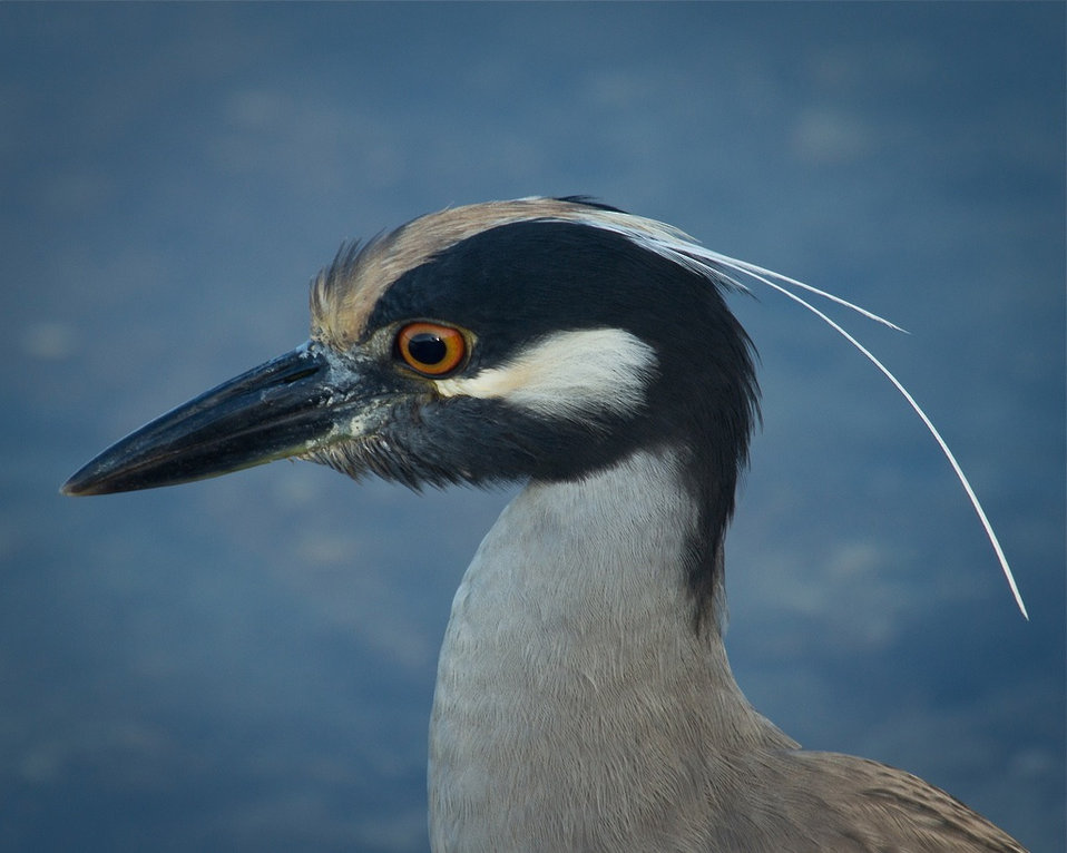 yellow-crowned night heron ...