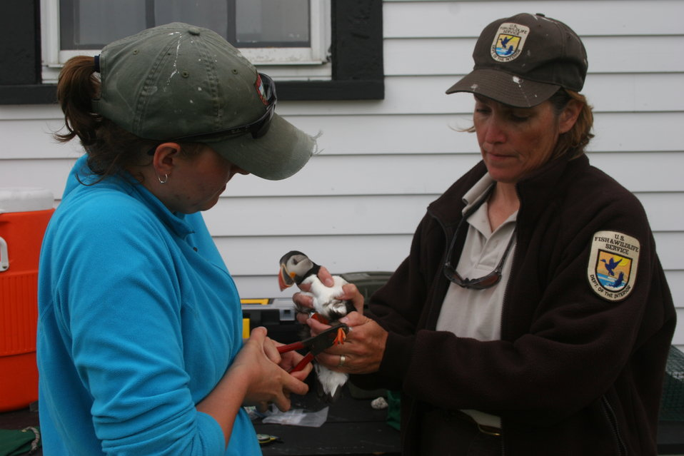 FWS Workers Tagging A Puffin