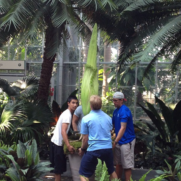 Bloom watch: rotating 'corpse flower' now 79' tall, 62' on Sat. #stinkyplant