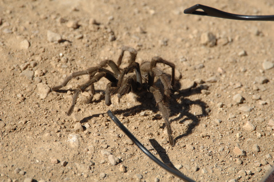 Tarantula in the Carrizo Plain
