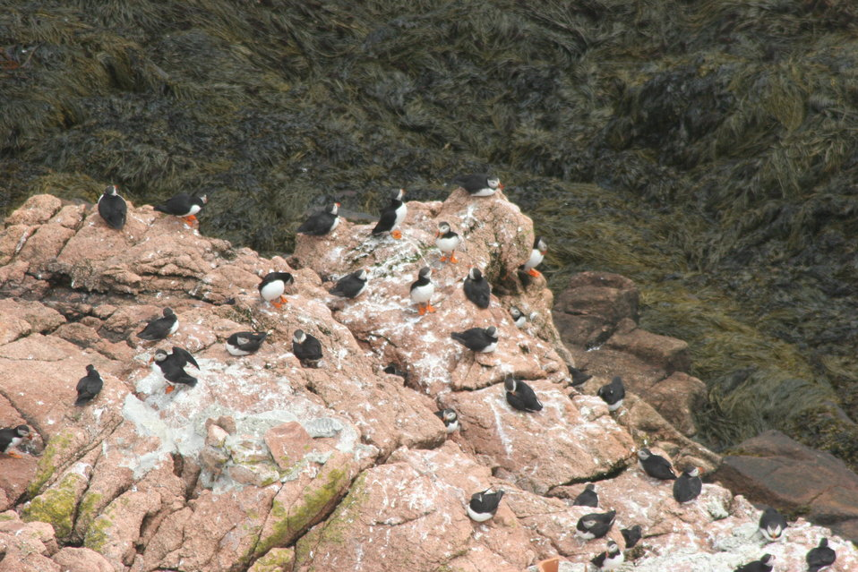 Puffins From The Lighthouse View