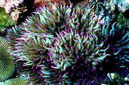 Sea Anemone - Kingman Reef NWR
