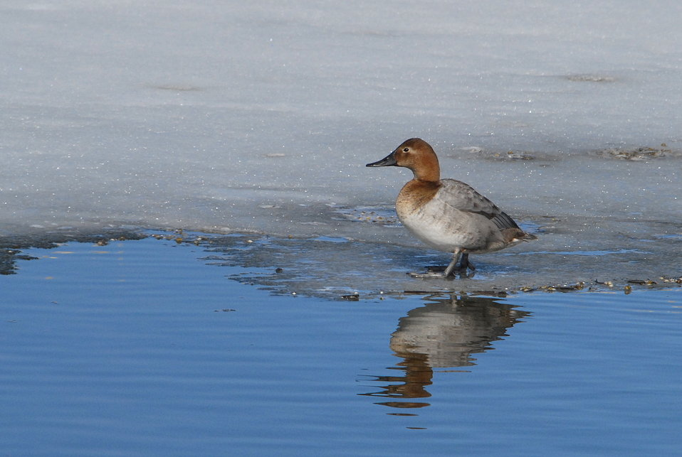 Canvasback (female)