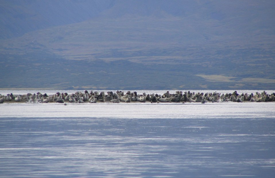 Harbor Seals in Izembek