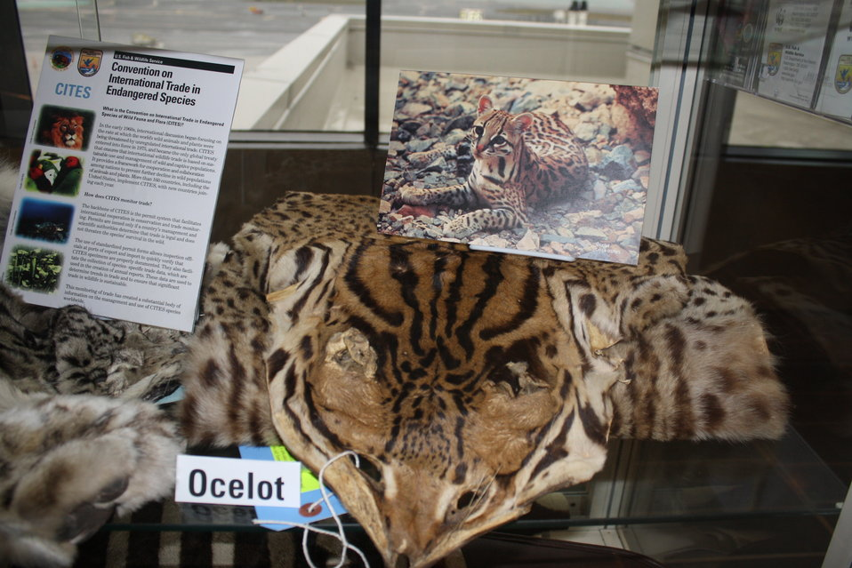 Ocelot Skin and Photo
