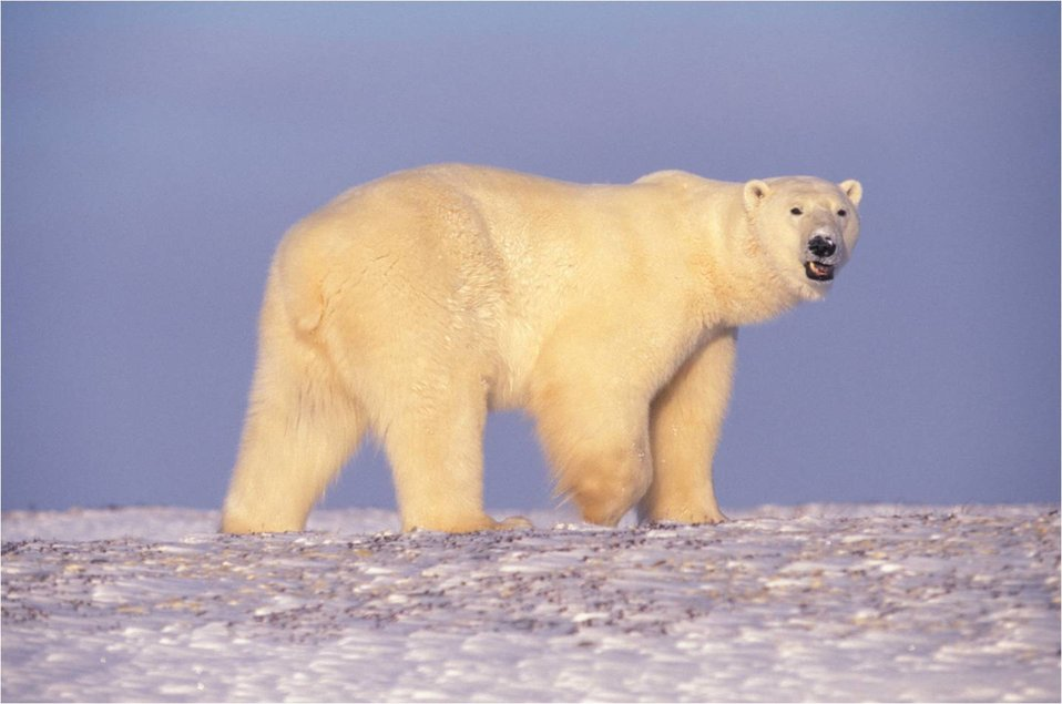 Polar Bear in Arctic Alaska