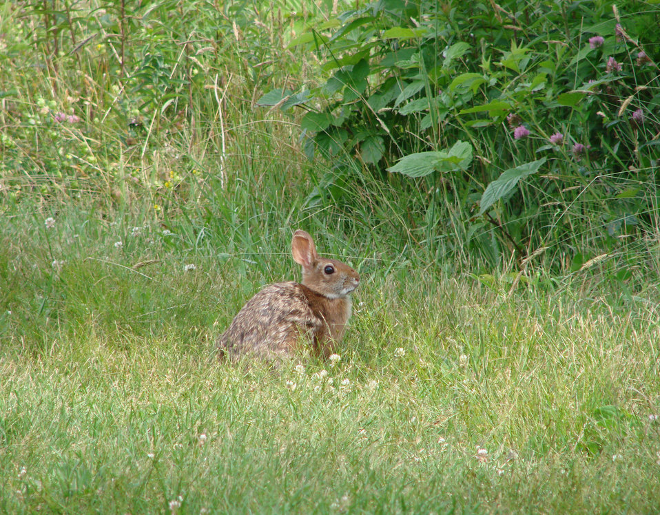 Photo of the Week - New England Cottontail (NH)