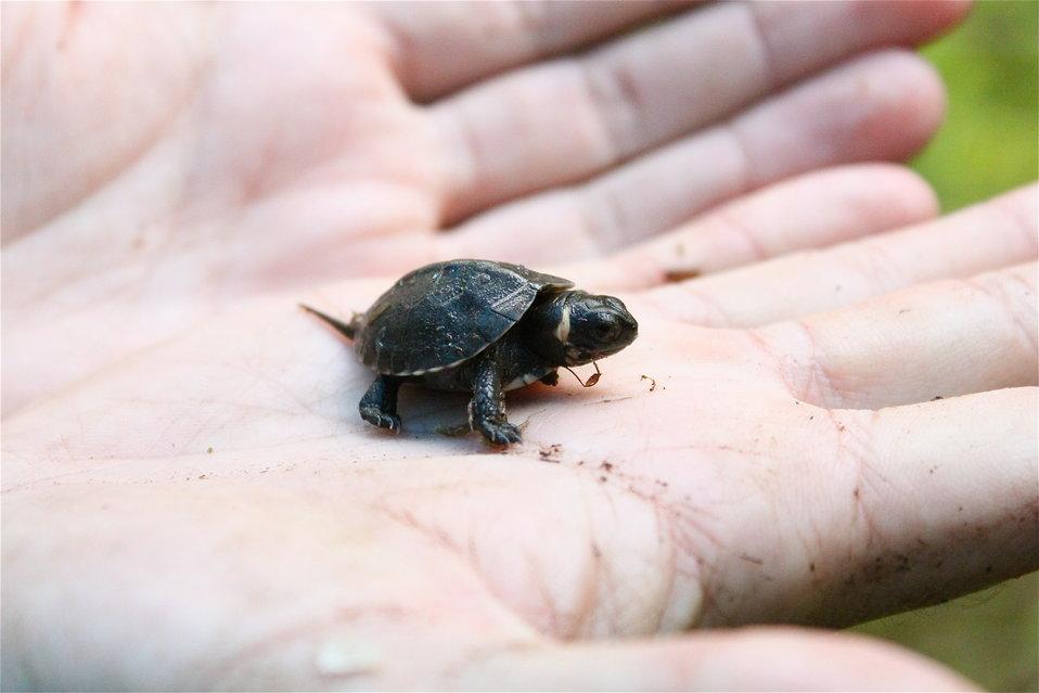 Newly hatched bog turtle
