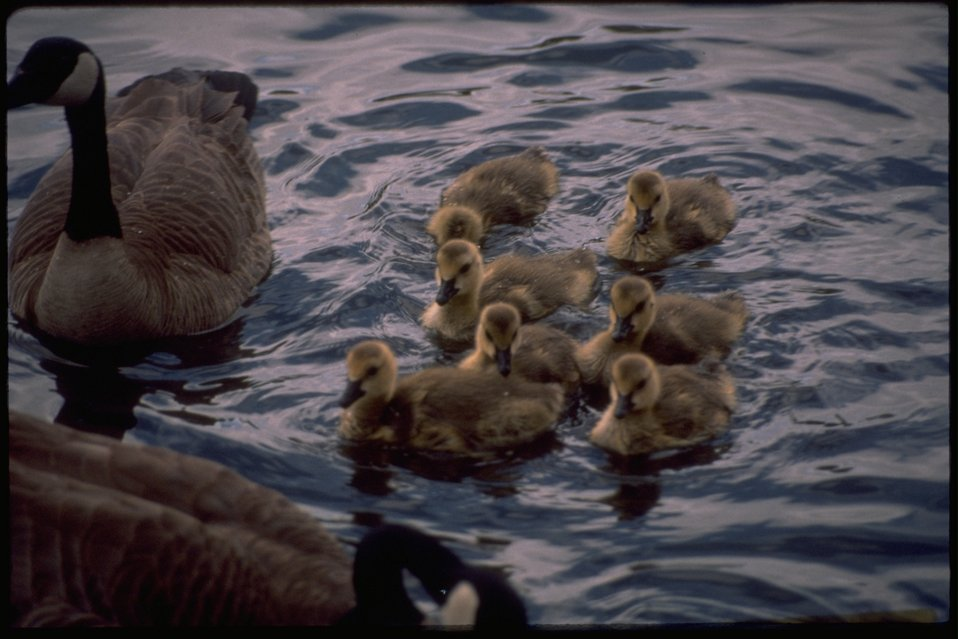 A mother goose with her goslings.