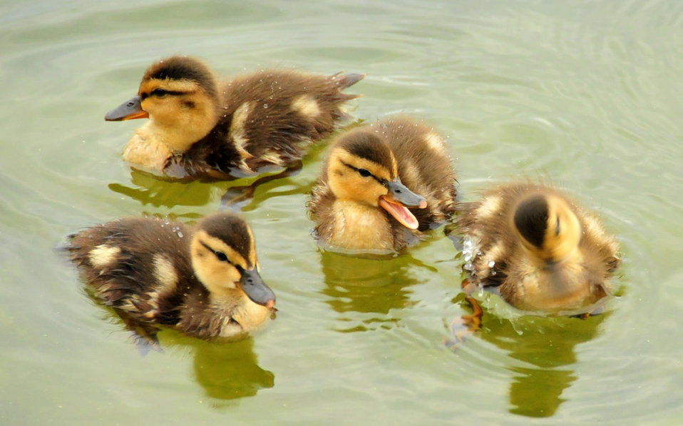 Mallard Ducklings 1