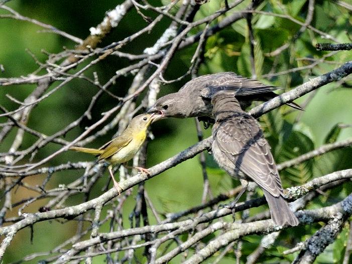 Photo of the Week - Yellowthroat Feeding Cowbird (MA)