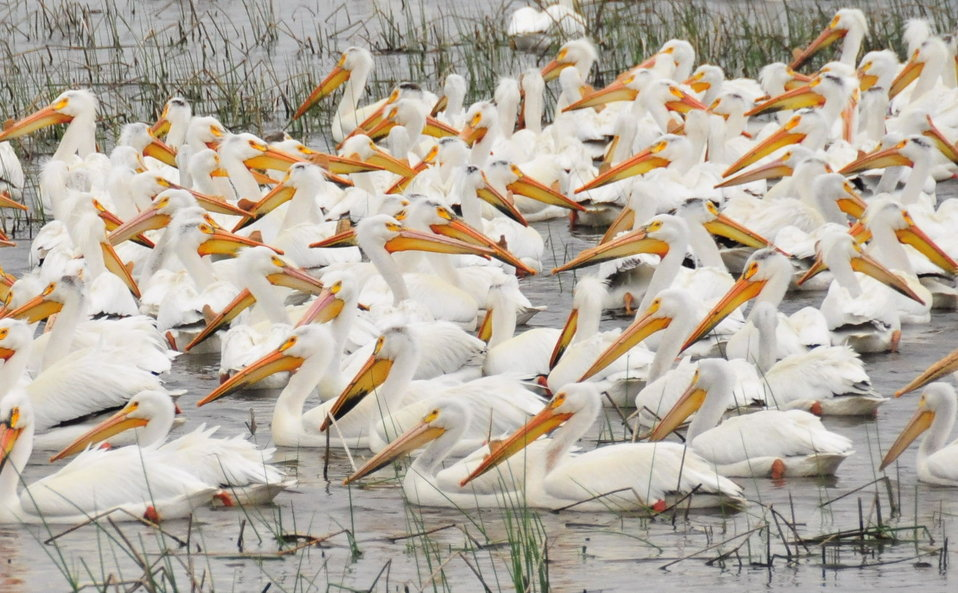 American White Pelican Feeding on Lacreek NWR 1