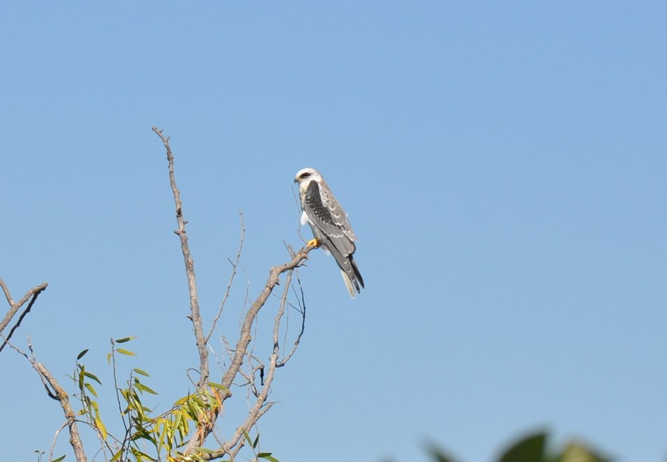 White-tailed kite/ USFWS photo by Brian Hansen