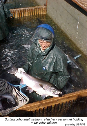 Sorting Adult Coho Salmon