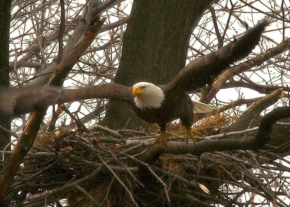 Bald eagle take off from nest