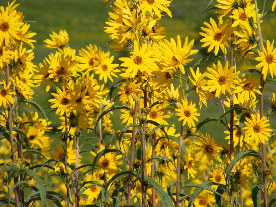 Maximillian Sunflowers Aglow in the Sun