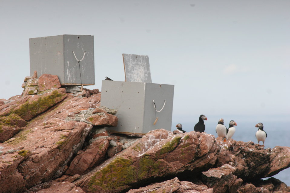 Puffins Near Capturing Boxes